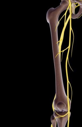 sciatic nerve block plus femoral nerve block may provide superior, Muscles