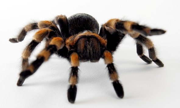 Peptides isolated from tarantula venom might help design pharmaceutical targets for IBS-associated abdominal pain