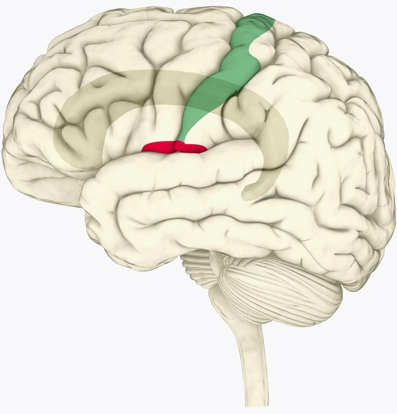 MS-related neuropathic pain is due to hyperexcitability in the primary somatosensory cortex (green), and activation of the cingulate cortex (red)