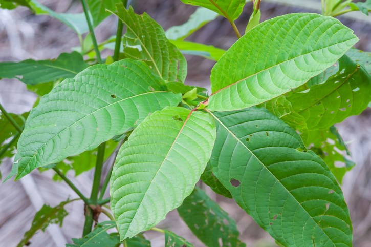 Kratom's active ingredients, the opioids mitragynine and 7-hydroxymitragynine, make it a popular alternative to opioids for treating pain and for easing opioid withdrawal.
