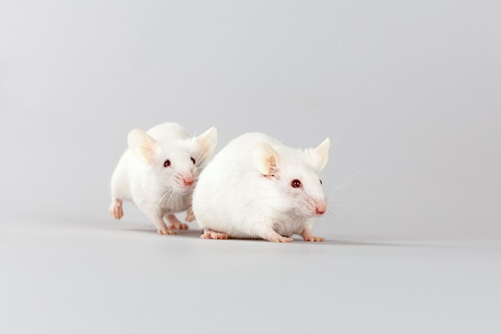 The transfer of hyperalgesia is mediated by olfactory cues in mice.